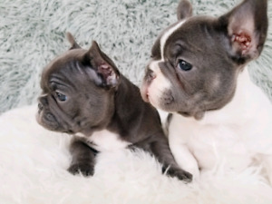 STUNNING TOP QUALITY FRENCH BULLDOG PUPPIES