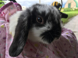 Cuddly family raised baby holland lop bunnies ready to go!