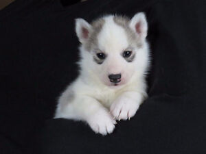 Beautiful Siberian Husky puppies ready for homes
