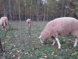 Breeding Ram, Rideau Arcott/ile de france, 8 Months old Cambridge Kitchener Area image 2
