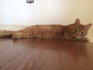 LILY - YELLOW-ORANGE TABBY - MISSING NOV 19TH - PIERREFONDS