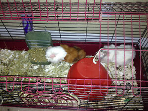 2 Guinea Pigs - need a new home