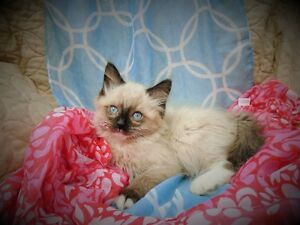 Looking for a perfect friend? Fluffy Ragdoll kittens