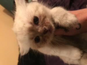 Persian x  Himalayan kittens