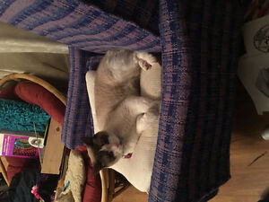 Missing!!! Male grey and white cat Kawartha Lakes Peterborough Area image 3