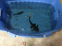 Must Sell Fish - Tank Leaking