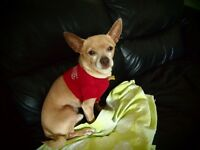 **Handsome Korky - CHIHUAHUA cross is available for adoption***