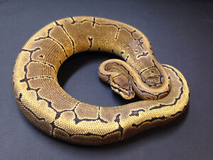 Male Breeder Ball Pythons for sale or trade