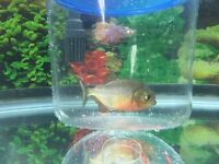 Selling a very cheap red belly piranha