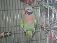 perroquets a moustache male ou echange