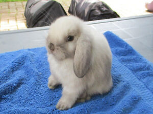 Young Sable Point Holland Lop