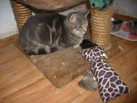BOOKED***. Stunning Silver Grey Tabby