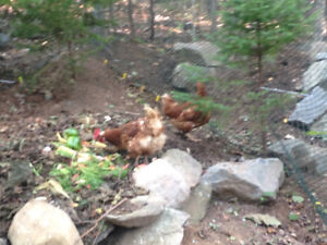 Free! 3 Chickens