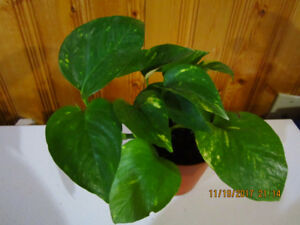 Golden Pothos (Marble Queen) - Air Purifying Plant