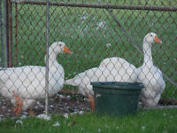 Guard Geese For Sale