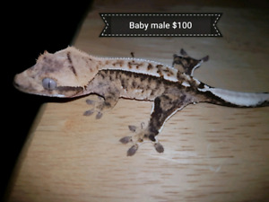 Baby male crested geckos