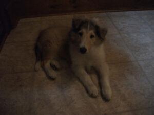 Beautiful CKC reg. Rough Collie Puppy