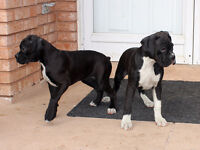 Purebred Boxer Puppies - CKC Registered - Ready to go now