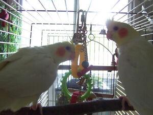 2 cockatiels lutino - négociable