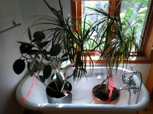 Downsizing: healthy house plants offered to good home!