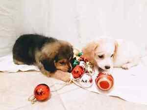 Dachshund/Cocker Spaniel Puppies ♡