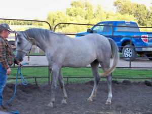 Horse for sale purebred Arabian