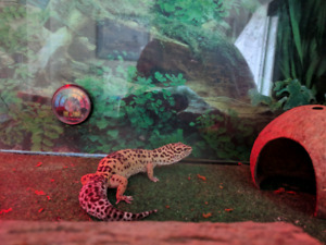 GECO LEOPARDS LOOKING FOR NEW HOME