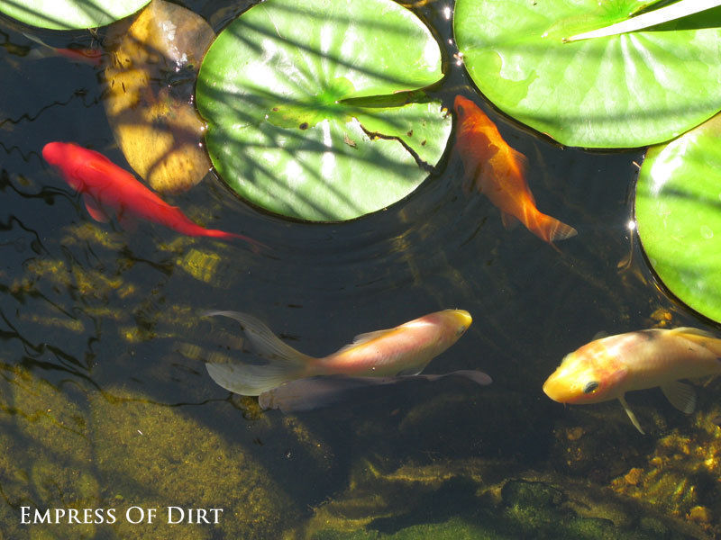 Make sure you have enough room for the fish to grow and keep your pond healthy