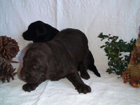 Family Raised Labradoodles - Mocha and Chocolate