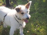 **Outgoing Eddie - JACK RUSSELL cross is available for adoption*
