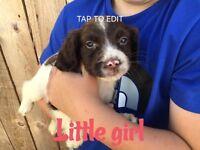 Springer spaniels puppy's