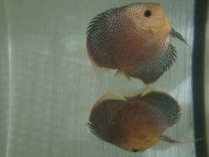 Eruption discus proven pair for sale