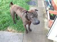 Shar Pei Male 10 months old £180
