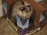 Lower price!!   Pretty sweet Himalayan female cat