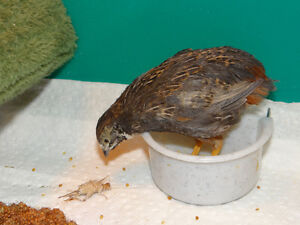 Young Male Button Quail