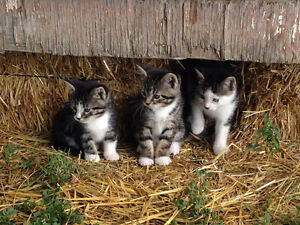 Outdoor Kittens for Sale