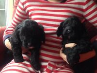 Cavapoo gorgeous cuddly puppies