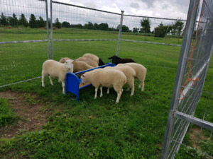 Sheep Ram Lambs-  Live pick up only.