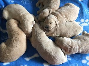 Beautiful Goldendoodle pups Kitchener / Waterloo Kitchener Area image 1