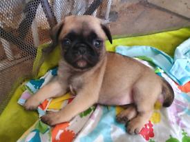 girl pug pup