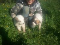 Farm Puppies for Sale