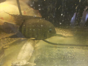 Green Spotted Severum