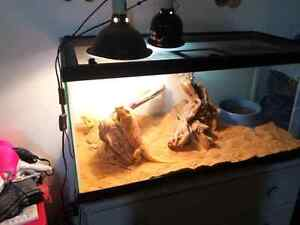 Two Beautiful Hypo Bearded Dragons