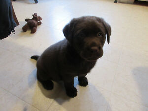 Female Chocolate Lab Puppy, Registered with Papers