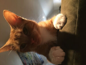 Beautiful orange tabby looking for a forever home