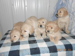 Golden Retreiver pups