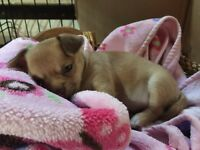 Cell seulement , chihuahua pure race femelle