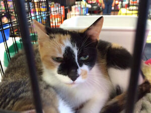 BEAUTIFUL CATS READY TO BE ADOPTED Calico, Tabi mother and son