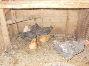 Price Reduced- Trios chickens
