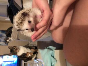 Pygmy Hedgehog - Includes Setup